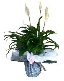 Spatifilyum Saksı Çiçeği (Barış Çiçeği)