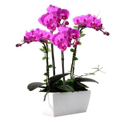 Mor Orkide 4 Lü