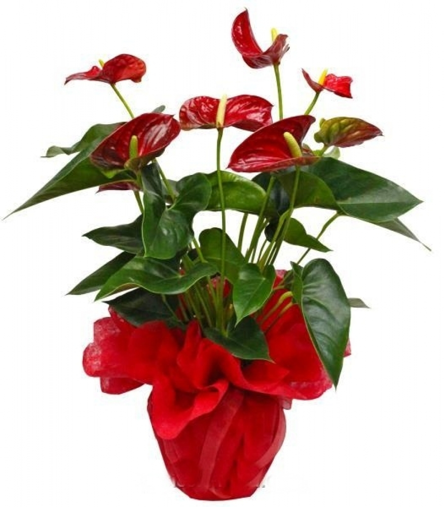 Anturyum - Anthurium ( Flomingo Çiçeği )