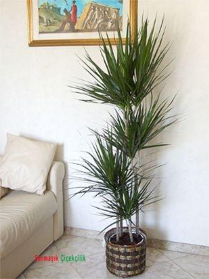 Marginata Saksı çiçeği 4 Lü