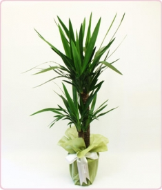 Yukka Saksı Çiçeği (2 li )