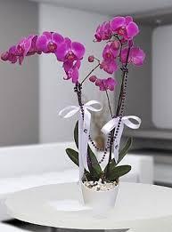 Saksıda 2 Li Pembe Orkide