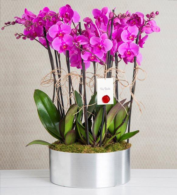Pembe Orkide 10 dal