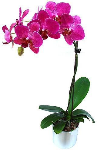 Orkide Pembe Tekli